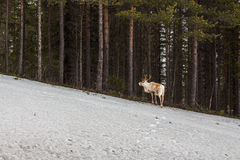 Reindeer loking for the flock at the forest edge Royalty Free Stock Images