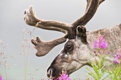 Reindeer looking at us Royalty Free Stock Photos