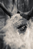 Reindeer mad. Mad reindeer or caribou attack photographer. head and eye of animal with zoom effect Stock Photo