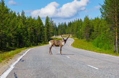 Reindeer on main road. In Lapland, Finland Royalty Free Stock Images