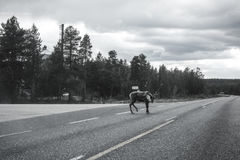 Reindeer on main road. In Lapland, Finland black and white Stock Photo