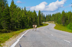Reindeer on main road running away. Reindeer on main road in Lapland, Finland Stock Photography