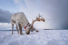 Reindeer with a massive antlers. Portrait of a reindeer with massive antlers digging in snow in search of food, Tromso region, Northern Norway stock photography