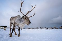 Reindeer with a massive antlers. Portrait of a reindeer with massive antlers pulling sleigh in snow, Tromso region, Northern Norway royalty free stock photos