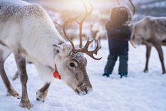 Reindeer with a massive antlers. Portrait of a reindeer with massive antlers wandering in snow, Tromso region, Northern Norway stock image
