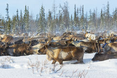 Reindeer migrate in the tundra. Nearby of polar circle at a cold winter day Royalty Free Stock Photos