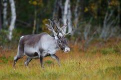Reindeer in the moor, autumn Royalty Free Stock Photo