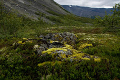 Reindeer moss. A background with reindeer moss and the mountains Royalty Free Stock Photos