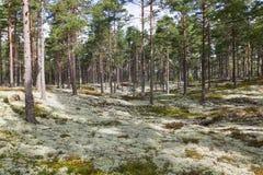 Reindeer moss Stock Image