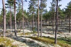 Reindeer moss Stock Images