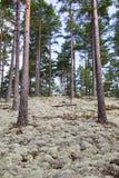 Reindeer moss Stock Photo