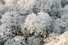 Reindeer moss Stock Photography