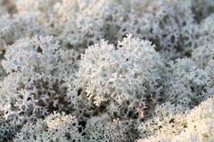 Reindeer moss Stock Photography