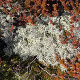 Reindeer moss and Black Crowberry Royalty Free Stock Photo