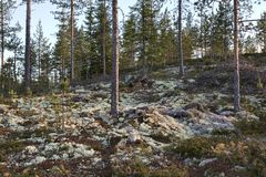 Reindeer Moss in a Forest Stock Photos