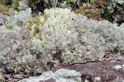 Reindeer moss Royalty Free Stock Images