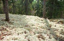 Reindeer moss royalty free stock photos