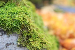 Reindeer moss Royalty Free Stock Photography