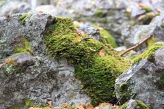 Reindeer moss on a rock. Reindeer or a bog moss on a rock , autumn , russia Royalty Free Stock Photography