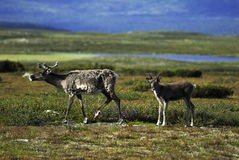 Reindeer mother and calf. Reindeer mother and young calf in autumn landscape of Sweden Royalty Free Stock Images