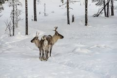 Reindeer mother and calf  walking in the snow with the herd in the wild Finnish forests royalty free stock photos