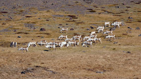 Reindeer on mountain in east fjords in Iceland Royalty Free Stock Images