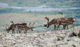 Reindeer mountain view Stock Photography
