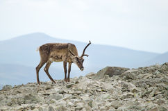 Reindeer mountains Stock Images