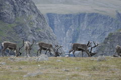 Reindeer in the mountains of North Cape Royalty Free Stock Image