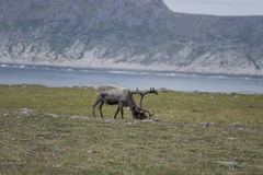 Reindeer in the mountains of North Cape Stock Images