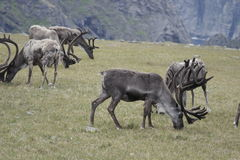 Reindeer in the mountains of North Cape Royalty Free Stock Images
