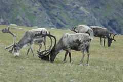 Reindeer in the mountains of North Cape Royalty Free Stock Photo