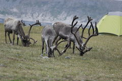 Reindeer in the mountains of North Cape Stock Photo