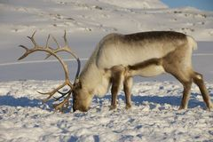 Reindeer in natural environment, Tromso region, Northern Norway.  Royalty Free Stock Photos