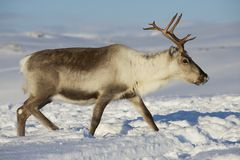 Reindeer in natural environment, Tromso region, Northern Norway Stock Photography