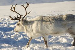 Reindeer in natural environment, Tromso region, Northern Norway Royalty Free Stock Photography