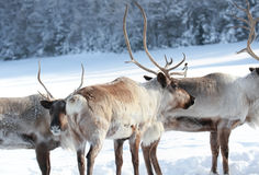 Reindeer in nature Stock Photography