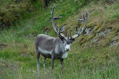 Reindeer near Nordkapp Cape, Norway Stock Photography
