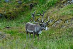 Reindeer near Nordkapp Cape, Norway Royalty Free Stock Photos