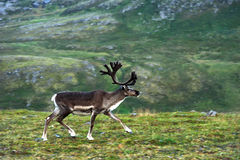 Reindeer near Nordkapp Cape, Norway Royalty Free Stock Photo