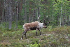 Reindeer. Near the road in North of Norway you can se a lot of reindeer Stock Photo