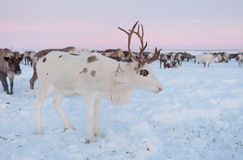 The reindeer in the Nenets reindeer herders camp Stock Image