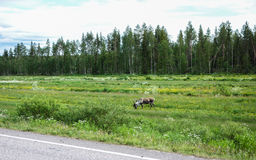 Reindeer next to road feeding. Reindeer next to the raod in Lapland, Finland Stock Images