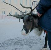 Reindeer, Nizhny Novgorod, the hard life of animals on holidays-skating children. People rest on holidays, and some animals work — they ride on small royalty free stock photos