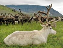 The reindeer in North America - caribou.  The reindeer in the distant past has enabled man to master the North. The reindeer in North America - caribou, Lat stock images