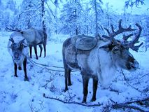 The reindeer in North America-caribou,Lat.Rangifer tarandus.The reindeer in the distant past has enabled man to master the North. The reindeer in North America royalty free stock image