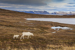Reindeer in the North of Norway Royalty Free Stock Photo