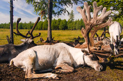 Reindeer in northern Mongolia. Tethered reindeer belonging to Mongolian nomads in Khovsgol National Park in northern Mongolia Stock Images