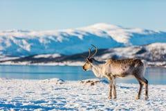 Reindeer in Northern Norway Stock Photo
