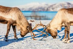 Reindeer in Northern Norway. Close up reindeer fighting in Northern Norway on sunny winter day Royalty Free Stock Image